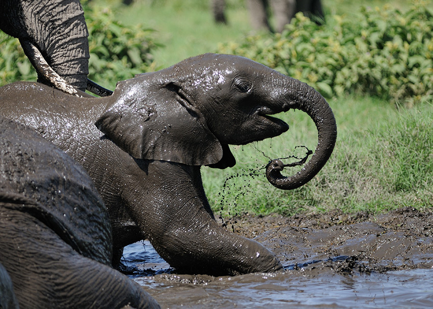 Water—and mud—makes elephants happy. (Photo credit: Carl Safina)