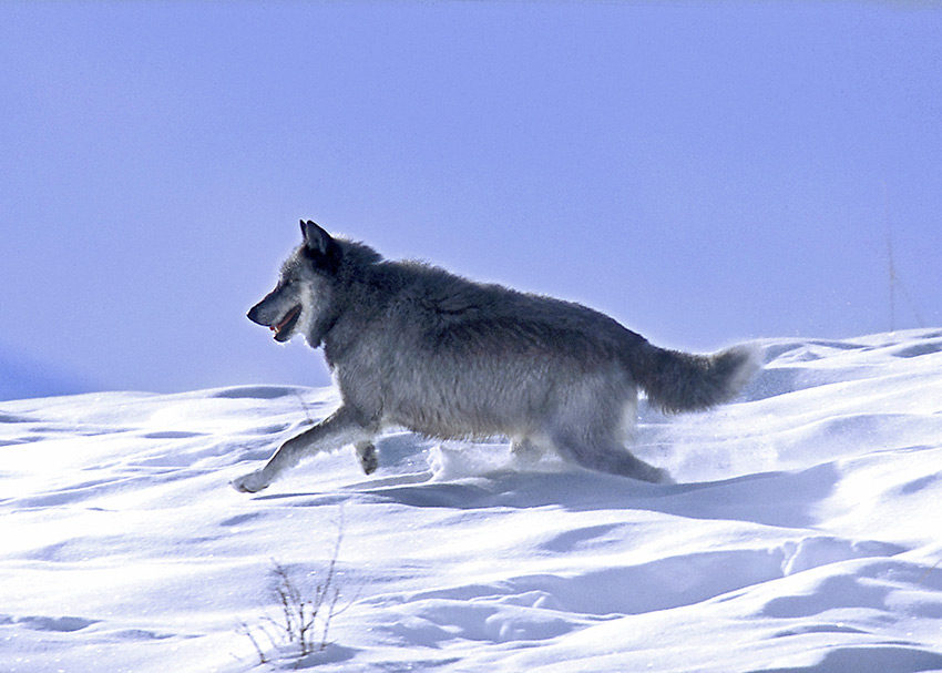 The superwolf named Twenty-one, who never lost a fight yet never killed a rival, and died of old age on his own terms. (Photo credit: Mark Miller)