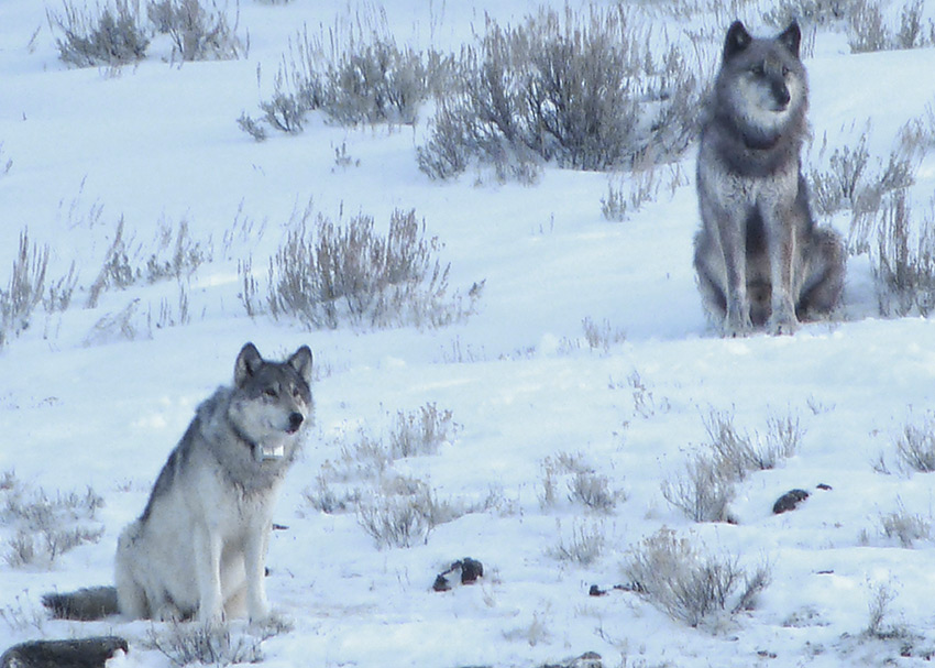 Seven Fifty-four (top right) and Oh-six were shot dead after wandering beyond Yellowstone National Park's border, despite their prominent research collars. (Photo credit: Doug McLaughlin)